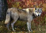 Grey Wolf (Canis lupus) 2