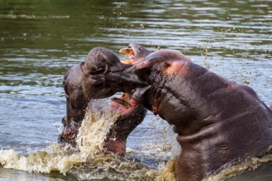 hippo-fight-4-of-10