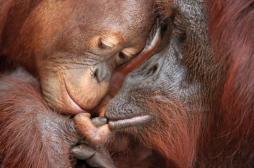 Orangutan and Baby, Tanjung Puting National Park, Borneo, Indonesia