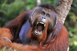 Orangutan yawning