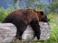sleepy-grizzly-bear_22670_990x742