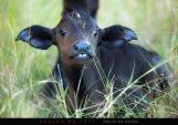 This young Cape Buffalo simply stole our hearts! Look at those eyes and those two front teeth!!