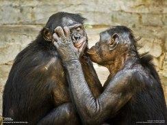 Two bonobos. (Photo by Graham McGeorge)