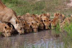 7 sparta-cubs-drinking-near-carcass-clearing