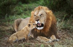A cub can be seen snuggling up to the male lion in Masai Mara, Kenya - Photo © STEVE BLOOM