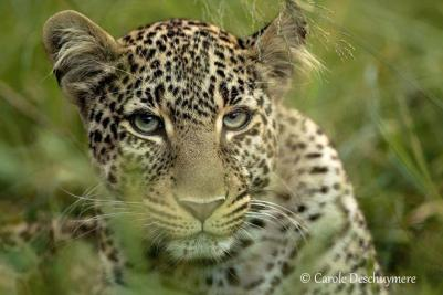A lovely leopard portrait contributed by Carole Deschuymere.