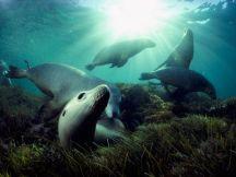 Australian Sea Lions - Great Australian Bight