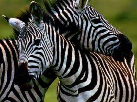 burchells-zebra_Ngorogoro Crater