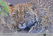 Chitwa leopard cub