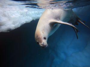 crabeater-seal-underwater_23923_990x742
