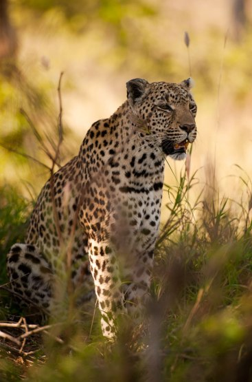 DRB-hunting-from-shade - 5Oct12 Londolozi