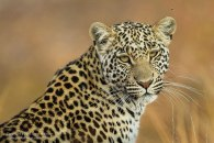 Female in Northern Botswana - Atkinson Photography and Safaris