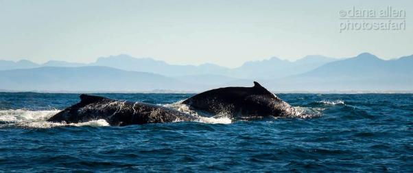 Humpbacks by Dana Allen - PhotoSafari