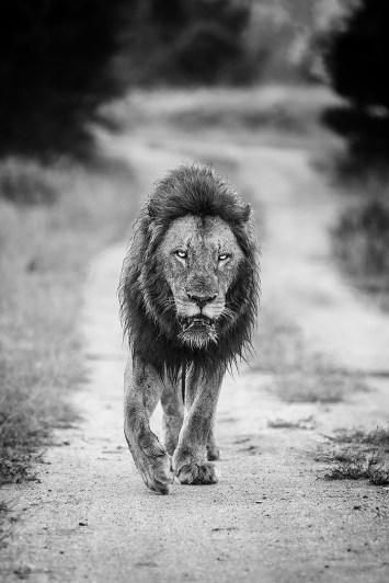 lionfiery-eyes