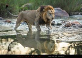 Making sure of each footing a large male lion traverses the Sand River.