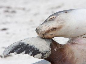 sea-lion-australia_56401_990x742