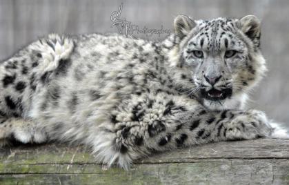 Snow Leopard at Rosamond Gifford