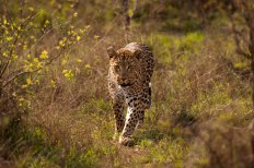 Tutlwa female 5Oct12 Londolozi