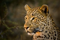 Tutlwa female at Sand River - 5Oct12 Londolozi