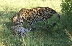 Vomba grooming her cub – Bennet Mathonsi