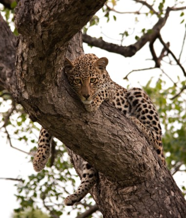 Ximpala-Cub-in-tree-02
