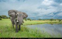 A lone elephant bull feeds along a waterhole as rainclouds build up along the horizon.