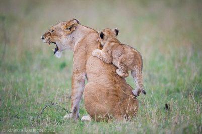 Biting back - Masai Mara National Reserve, Kenya
