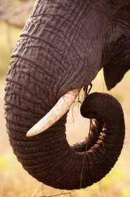 Ellie-trunk-and-tusk - 20Sept12 Londolozi
