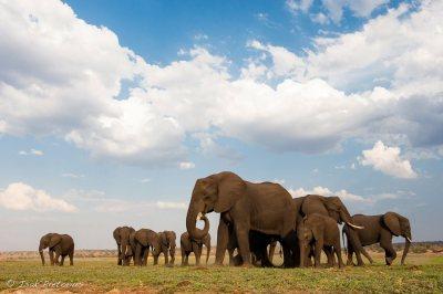 Herd Chobe River South Luangwa National Park, Zambia