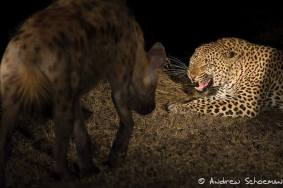 Showdown of the predators by Andrew Schoeman Photography
