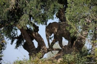 Tree climbing elephant