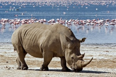 White Rhino with flamingos, Lake Nakuru, Kenya - Photo Copyright Aivar Mikko