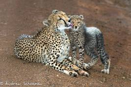 cheetah-cub-getting-a-facial-wash-after-feasting-on-an-impala-by-andrew-schoeman-on-safari-with-africa-geographic-andBeyond