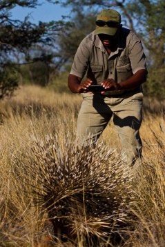 Porcupine at Tswalu