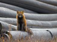Red Fox, Hudson Bay , Manitoba, Canada - Photograph by Todd Mintz