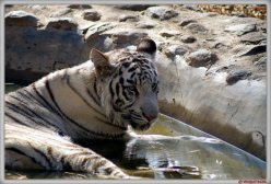 The white tiger is a recessive mutant of the Bengal tiger