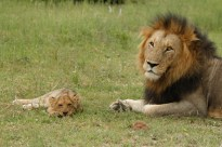 When enough is enough the male made sure that the cub knew his place
