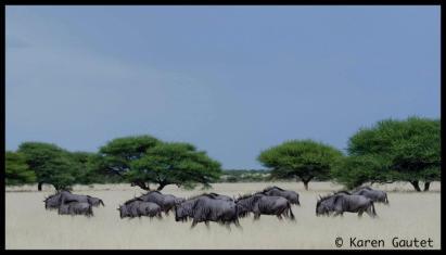 Wildebeest panorama by Karen Gautet