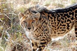 Young king cheetah