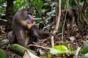 A Mandrill in a South-East rainforest of Gabon - Alessio Carelli Photography