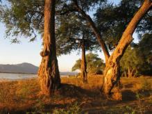 Banks of the Zambesi
