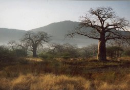 Baobabs in the Lowveld