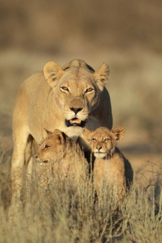 New life is fiercely protected by a Kalahari queen.