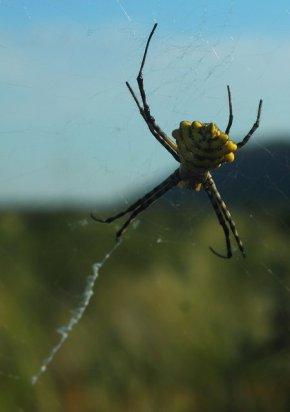 Orb-web spider