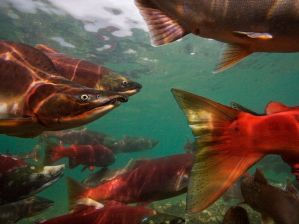 pacific-salmon-migrating_28113_990x742