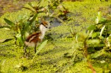 African Jacana chick