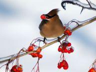 cedar-waxwing-berries_12089_990x742