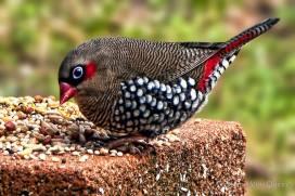 Diamond firetail finch, Australia
