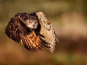 eagle-owl-flight_45673_990x742