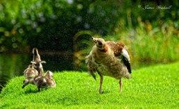 Egyptian Goose - James Gradwell Photography & Photo Tours